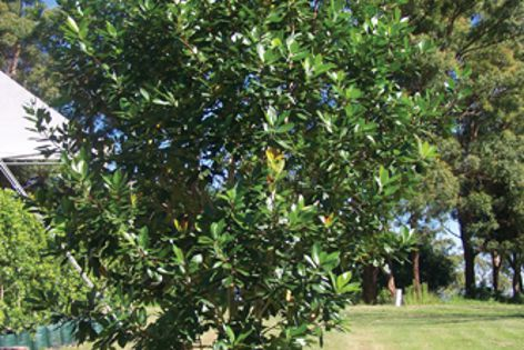 A hardy alternative to the Magnolia is Ozbreed's Australian-native Luscious.