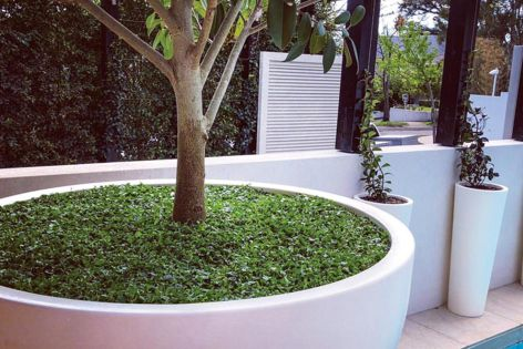 Plant Tiles' native Dichondra repens was used by Cruz Landscaping as a living mulch around this potted fig tree. Photography: Daniel Cruz